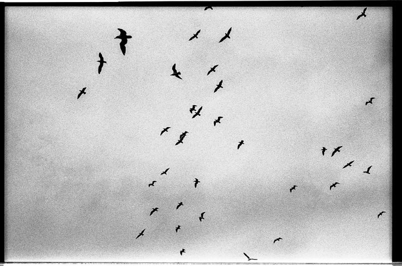 Birds black and white film photography